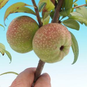 Venkovní bonsai - Chaneomeles japonica - kdoulovec