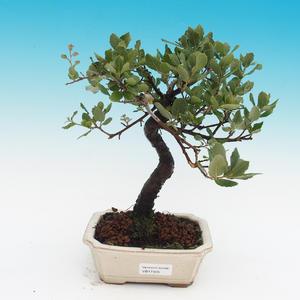 venkovní bonsai Quercus suber - Korkový dub
