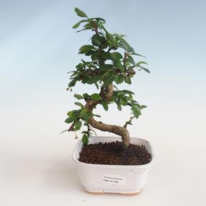 Pokojová bonsai - Carmona macrophylla - Čaj fuki PB2191306
