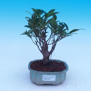 Vonkajšie bonsai - Pinus thunbergii corticosa - borovica korková