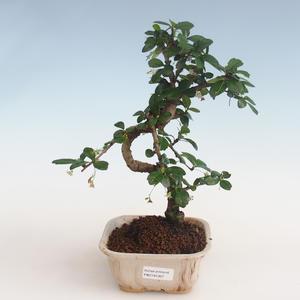 Pokojová bonsai - Carmona macrophylla - Čaj fuki PB2191307
