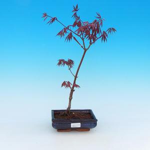 Vonkajšie bonsai - Javor palmatum Trompenburg - Javor dlaňolistý červený