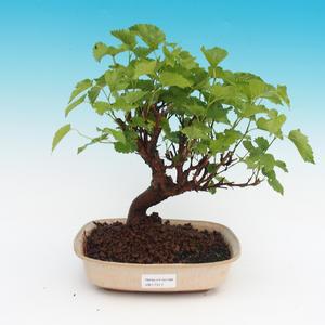 Venkovní bonsai -Morus alba - moruše