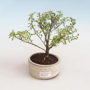 Pokojová bonsai - Ficus retusa-malolistý fíkus
