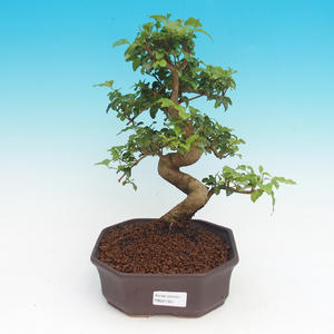 Vonkajšie bonsai - Zelkova Nirom - Korkový brest