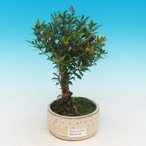Pokojová bonsai Syzygium -Pimentovník PB217385