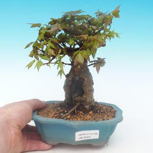Shohin - Javor-Acer burgerianum na skale