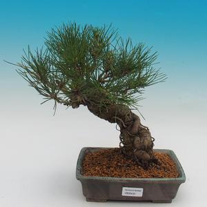 Pinus thunbergii - borovica thunbergova