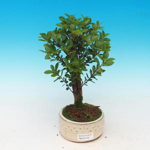 Pokojová bonsai Syzygium -Pimentovník