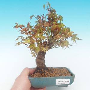 Shohin - Javor-Acer palmatum