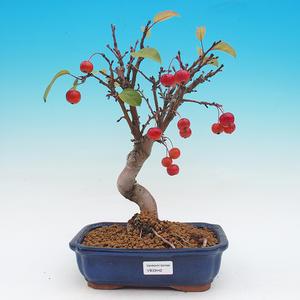 Vonkajší bonsai -Maloplodá jabloň - Malus haliana