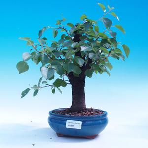 Venkovní bonsai -Mahalebka - Prunus mahaleb