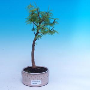 Venkovní bonsai -Pseudolarix amabis-Pamodřín