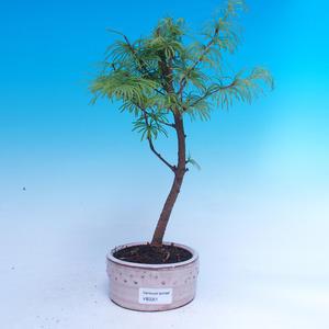 Vonkajší bonsai -Pseudolarix amabis-Pamodřín