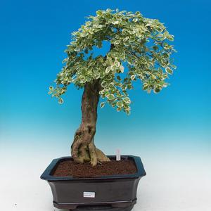 Izbová bonsai - Durant variegata