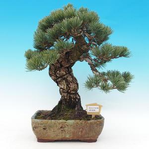 Vonkajšie bonsai - Borovica parviflora - Borovica drobnokvetá