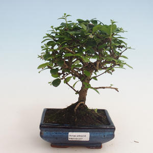 Pokojová bonsai - Carmona macrophylla - Čaj fuki 412-PB2191337