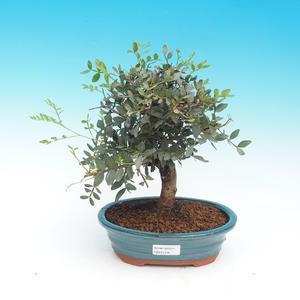 Vonkajšie bonsai - Borovica thunbergova - Pinus thunbergii