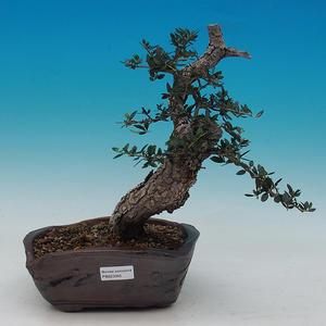 Olea evropea - oliva európska