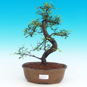 Izbová bonsai -Malolistý brest - P217346