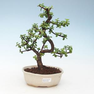 Pokojová bonsai - Portulakaria Afra - Tlustice 414-PB2191348