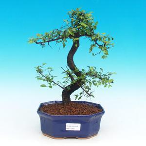 Izbová bonsai -Malolistý brest - P217349