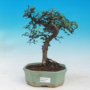 Izbová bonsai - Ulmus parvifolia - malolistá brest