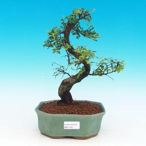 Izbová bonsai -Malolistý brest - P217351