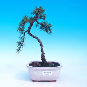 Vonkajšie bonsai - Cedrus libani Braviofolia