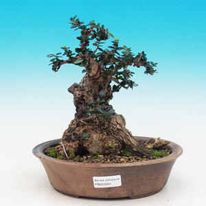 Olea sylvestris - oliva malolistá