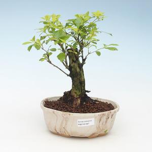 Pokojová bonsai - Duranta erecta Aurea 414-PB2191367