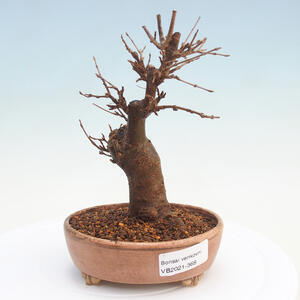 Venkovní bonsai - Chaneomeles japonica - Kdoulovec japonský