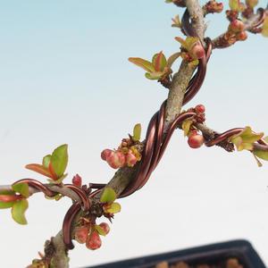 Vonkajšie bonsai - Chaneomeles japonica - Dulovec japonský