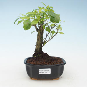 Pokojová bonsai - Duranta erecta Aurea 414-PB2191375