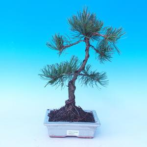 Pinus parviflora - Borovica drobnokvetá