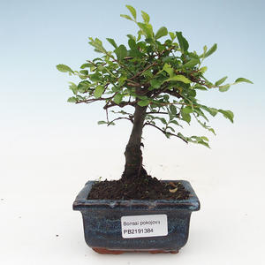 Pokojová bonsai- Ulmus Parvifolia-Malolistý jilm 414-PB2191384