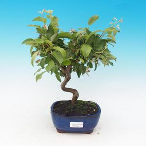 Venkovní bonsai-Malus halliana-Maloplodá jabloň
