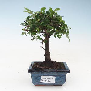 Pokojová bonsai- Ulmus Parvifolia-Malolistý jilm 414-PB2191386