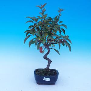 Venkovní bonsai -Malus halliana - Maloplodá jabloň