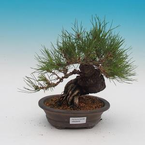 Pinus densi flora- Borovice