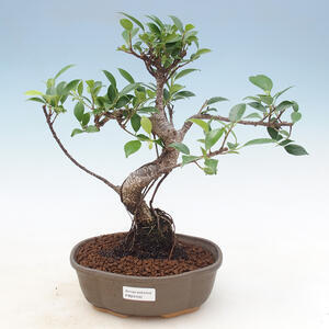 Pokojová bonsai - Sagerécie thea - Sagerécie thea 414-PB2191400