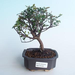 Pokojová bonsai - Sagerécie thea - Sagerécie thea 414-PB2191403