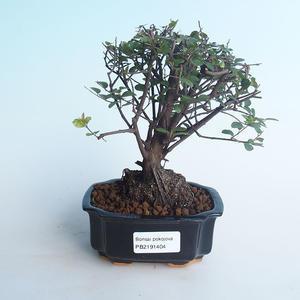 Pokojová bonsai - Sagerécie thea - Sagerécie thea 414-PB2191404
