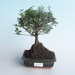 Pokojová bonsai - Sagerécie thea - Sagerécie thea 414-PB2191407