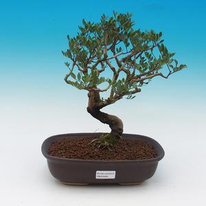 Izbová bonsai-pistácie