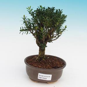 Izbová bonsai - Buxus harlandii - korkový buxus