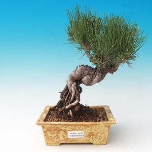 Venkovní bonsai-Pinus thunbergii - Borovice thunbergova