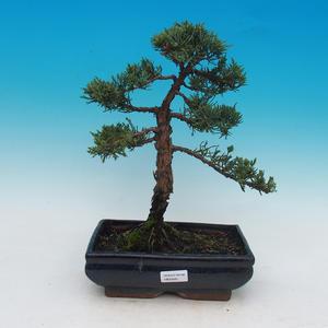 Venkovní bonsai - Juniperus chinensis -Jalovec čínský
