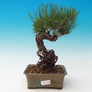 Vonkajšia bonsai-Pinus thunbergii - Borovica thunbergova