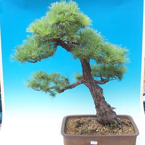 Vonkajšie bonsai - Pinus parviflora - Borovica drobnokvetá